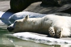 Sleeping Polar Bear Stock Image