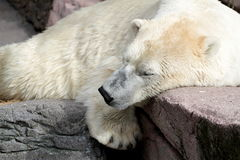 Sleeping polar bear. On rocks Royalty Free Stock Images