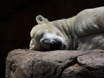 Sleeping Polar Bear Stock Image
