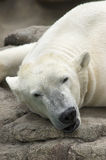 Sleeping Polar Bear Stock Photography