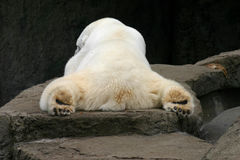 Sleeping Polar Bear Stock Images
