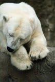 Sleeping Polar Bear. A Polar Bear sleeps on the rocks at the zoo royalty free stock images