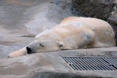 Sleeping Polar Bear Royalty Free Stock Photos