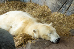 Sleeping polar bear Royalty Free Stock Image