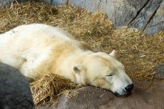 Sleeping polar bear Royalty Free Stock Image