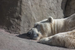 Sleeping polar bear in the Moscow Zoo stock images