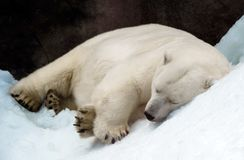 Sleeping polar bear. On the snowdrift in Moscow zoo, Russia stock images