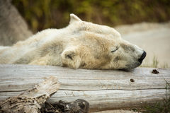 Sleeping Polar Bear. A polar bear takes a nap on a log Royalty Free Stock Photography