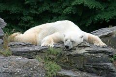 Sleeping Polarbear Royalty Free Stock Photo