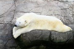 Sleeping polarbear. On rocks in a zoo Royalty Free Stock Images