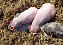 Sleeping poluted and pink piglets in the straw Stock Photo