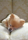 Sleeping pomeranian. Small pomeranian dog sleeping on the couch Royalty Free Stock Image