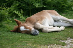 Sleeping pony Royalty Free Stock Photography
