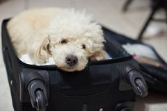Sleeping poodle dog in suitcase. Waiting for travel Royalty Free Stock Image