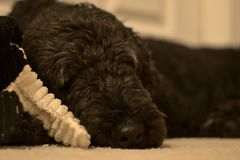 Sleeping poodle with toy royalty free stock images