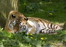 Sleeping Power. Tiger sleeping in the shadow of a tree royalty free stock photo