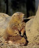 Sleeping prairie dog. A prairie dog appears to be sleeping against a rock Stock Photo