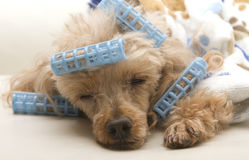 Sleeping After Primping. A poodle in bathrobe and curlers takes a nap on the sofa Royalty Free Stock Images