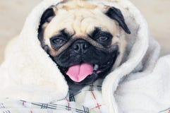 Sleeping pug Stock Images