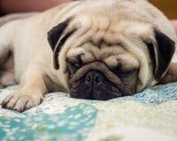 Sleeping Pug Stock Image