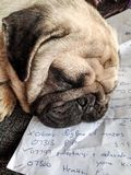 Sleeping Pug Royalty Free Stock Images
