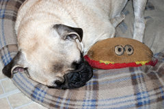 Sleeping Pug Puppy Royalty Free Stock Photography