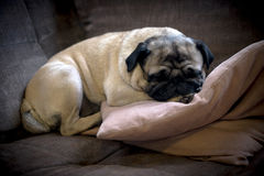 Sleeping Pug. Tan pug dog sleeping on cussion on couch Stock Image