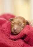 Sleeping puppie. One week puppie sleeping in a blanket Stock Photography