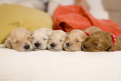 Sleeping puppies Royalty Free Stock Photo