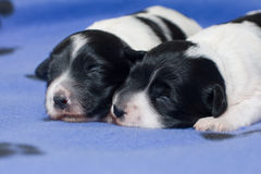 Sleeping puppies. Two very young Tibetan Terrier puppies sleeping together on a blue blanket Royalty Free Stock Photography