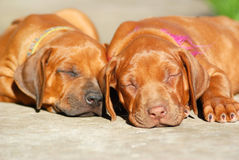 Sleeping puppies. Two beautiful Rhodesian Ridgeback hound dog puppies with relaxed expression in their faces sleeping on the floor outdoors. One puppy is a black Stock Photo