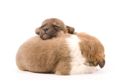 Sleeping puppies. Two sleeping puppies on a white background Stock Photos