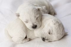 Sleeping puppies Royalty Free Stock Photos