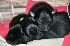 Sleeping puppies Stock Photos