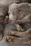 Sleeping puppies. Two Weimaraner puppies, 3 months old, sleeping on a floor Stock Photos