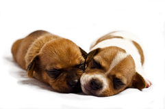 Sleeping puppies. View of two canine puppies sleeping together Royalty Free Stock Images