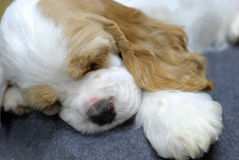 Sleeping puppy. 9 week old American Cocker Spaniel puppy sleeping Stock Images