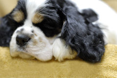 Sleeping puppy. 9 week old tri color american cocker spaniel sleeping Royalty Free Stock Photo