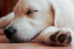 Sleeping Puppy Royalty Free Stock Photos