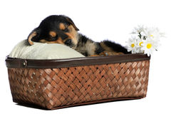 Sleeping Puppy. A sleeping puppy is having a nap in a basket, isolated against a white background Stock Photos