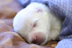 Sleeping puppy Royalty Free Stock Image