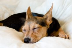 Sleeping puppy. Portrait of sleeping toy terrier on white pillow Stock Photos