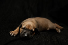 Sleeping puppy Royalty Free Stock Photo