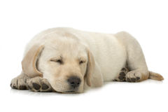 Sleeping puppy. Sleeping Labrador retriever puppy against white background Stock Photos