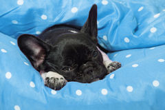 Sleeping puppy Royalty Free Stock Images