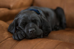 Sleeping Puppy. A black labrador mix puppy sleeping on a brown couch Royalty Free Stock Photography
