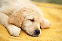 Sleeping puppy. Of the Golden Retriever. The puppy sleeps on a yellow background. A sleeping dog Royalty Free Stock Photos
