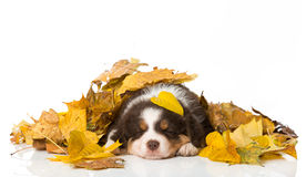 Sleeping puppy. Australian shepherd puppy isolated on white Royalty Free Stock Photos