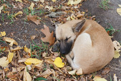Sleeping  puppy in autumn Stock Images