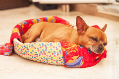Sleeping Puppy in a Basket Royalty Free Stock Photo